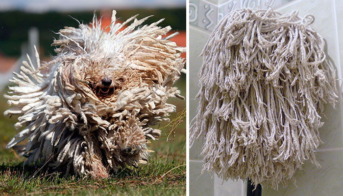 komondor dog looks like a mop