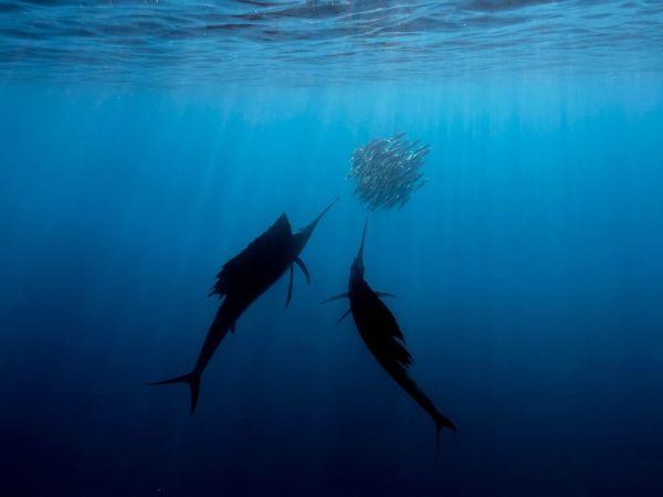 NG SAIL FISH