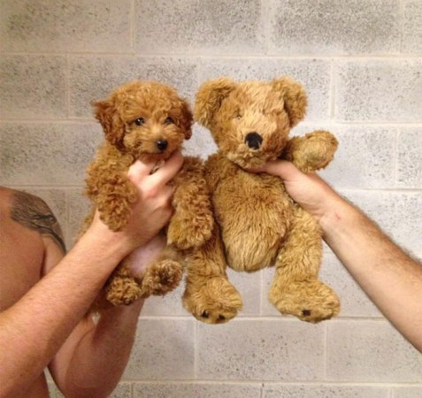 puppy and teddy bear look a like