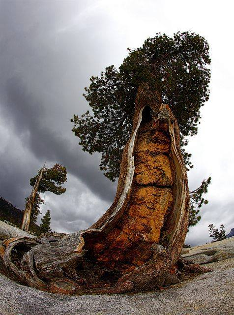 4000-5000 year old Bristlecone Pine - Yosemite National Park, CA
