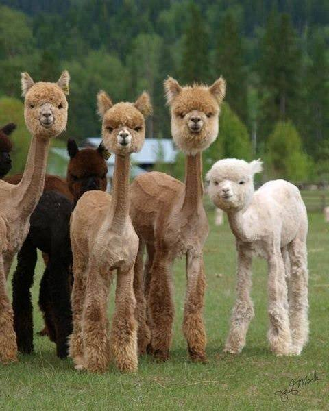 Shaved Alpacas are both hilarious and terrifying