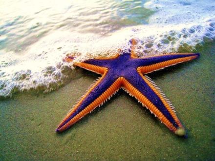 51aq6-starfish