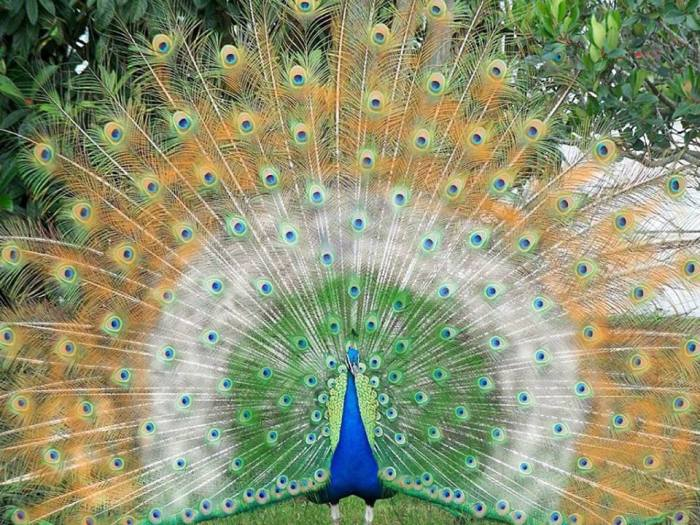 peacock blue green gold white