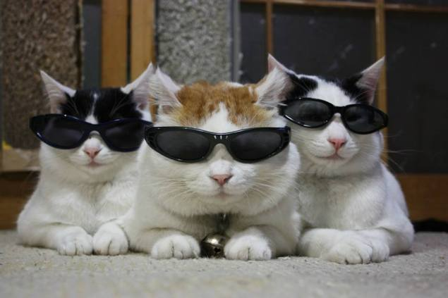cats sunglasses 1