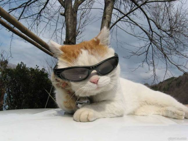 cats sunglasses 6