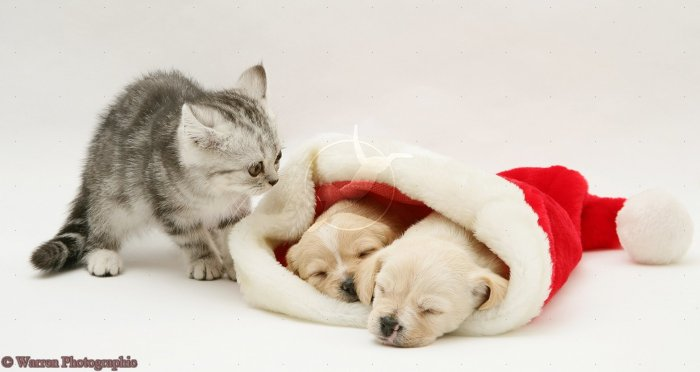 Silver tabby kitten with Westie x Cavalier pups in a Father Christmas hat
