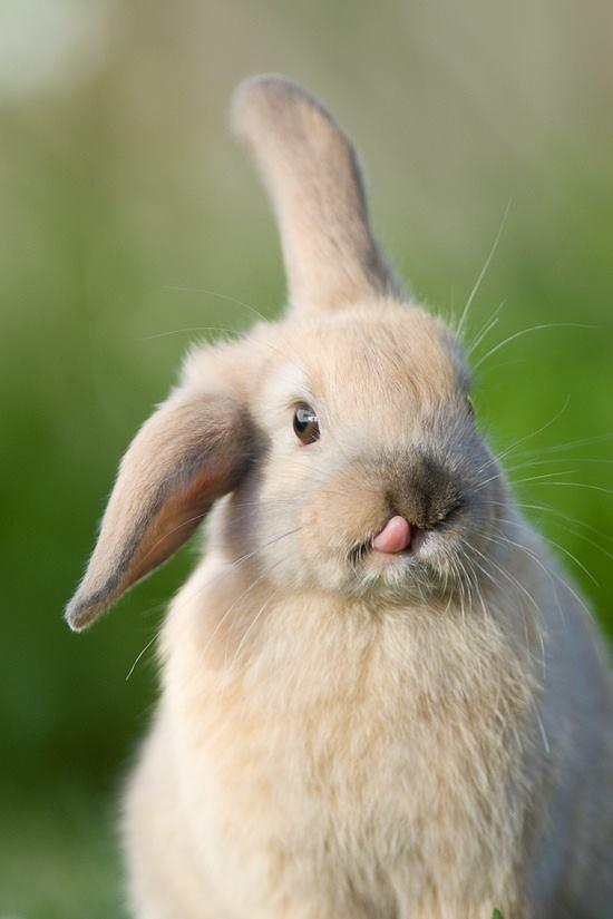 easter cute bunny tongue 1