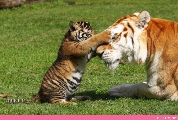 mother-and-baby-tiger