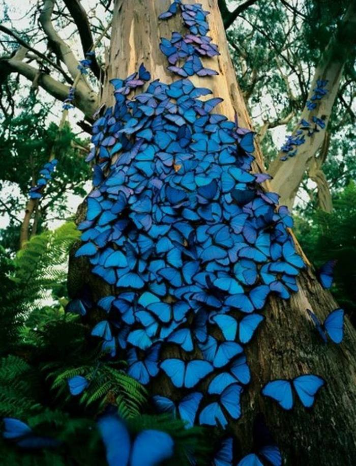 blue-butterflies-in-the-brazil-rainforest